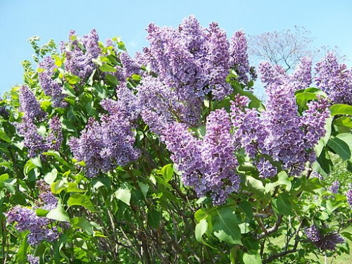 2013_Rochester_Lilac_Festival_-_Flower_City_Lilac_-_02